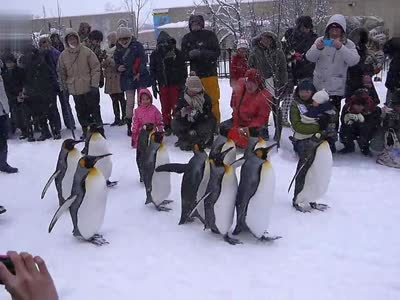旭川动物园企鹅散步