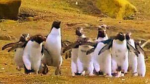 南极当一只企鹅有多难