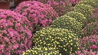 秋日盛开的千头菊 珍果奇树扎堆种