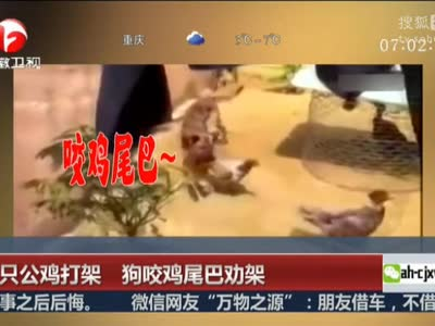[视频]两只公鸡打架 狗咬鸡尾巴劝架