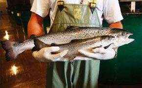 美国批准转基因三文鱼上餐桌