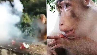 实拍猴子讨食遭扔炮仗鲜血淋漓 男子放声大笑图片