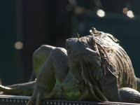 可怕!超大蜥蜴惊现赛场  网坛猛将竟束手无策