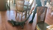 澳洲巨蜥闯进餐厅偷食