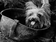 小小约克夏也是二战英雄 曾用尿尿浇灭炸弹