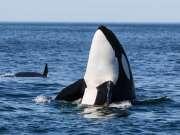 海洋爱语,与挪威逆戟鲸亲密接触