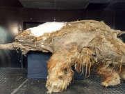 西伯利亚发现冰冻万年狮子幼崽 有望被克隆