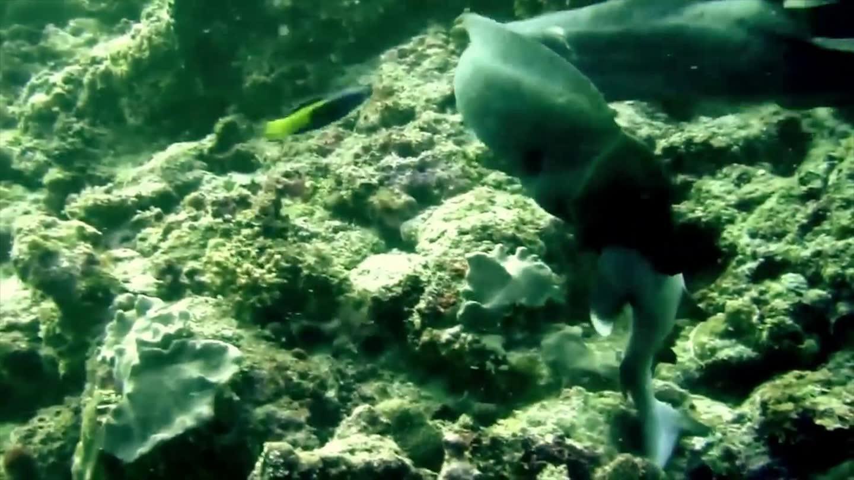 鲨鱼竟被巨型海鳗吃掉 上演逆天情景精彩不断