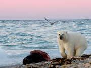 我们在北极见识到了猎杀独角鲸现场