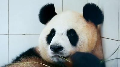 熊猫宝宝产前减肥