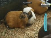 《超级旅行团》20170119:动物园奇遇记之天竺鼠 荷兰猪原来是种鼠类