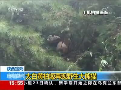 [视频]陕西宝鸡太白黄柏塬再现野生大熊猫
