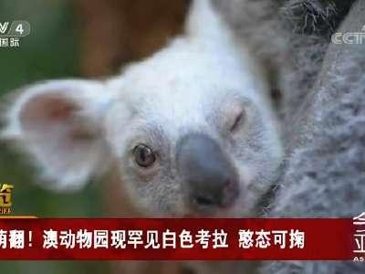 [视频]萌翻!澳动物园现罕见白色考拉 憨态可掬