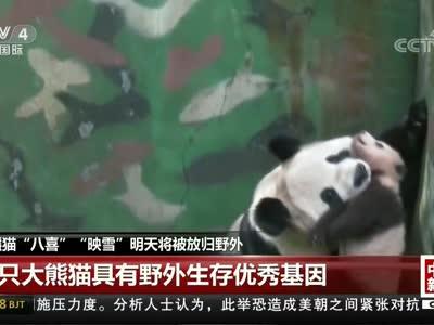 """[视频]大熊猫""""八喜""""""""映雪""""明天将被放归野外"""