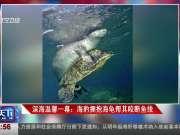 深海温馨一幕:海豹拥抱海龟帮其咬断鱼线