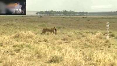 母狮子一口咬住野狗脖子,然后狼吞虎咽的吃掉!