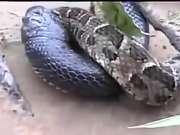 眼镜蛇VS蟒蛇 世界上最毒与最大的蛇对抗,谁是最后赢家?