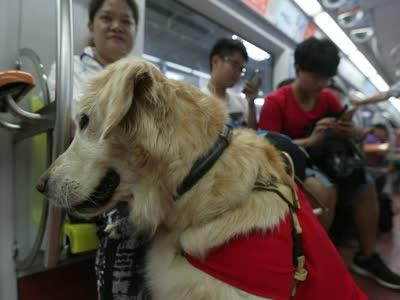 导盲犬lucky的奇幻旅程 地铁中遭乘客围拍