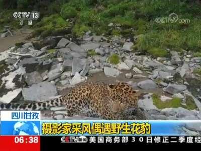 [视频]四川甘孜:摄影家采风偶遇野生花豹