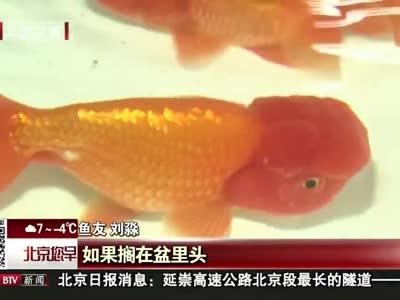 [视频]百花齐放金鱼展览会在自然博物馆开展