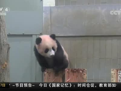 """[视频]日本:熊猫""""香香""""人气旺 抽签限看1分钟"""