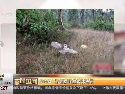 [视频]DUANG! 猴面鹰误撞玻璃昏迷