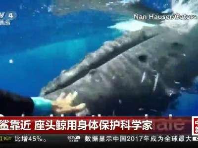 [视频]虎鲨靠近 座头鲸用身体保护科学家