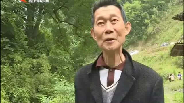 """安化有株千年""""梓叶槭""""当选""""中国最美古树"""""""