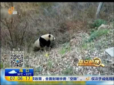 [视频]陕西:村民路边拍到野生大熊猫