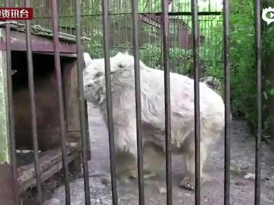 [视频]美国马戏团狗熊被虐30年没冬眠 骨瘦如柴