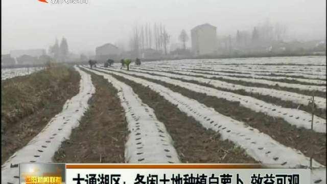 大通湖:冬闲土地种植白萝卜 效益可观