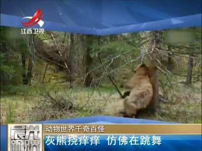 [视频]动物世界千奇百怪:灰熊挠痒痒