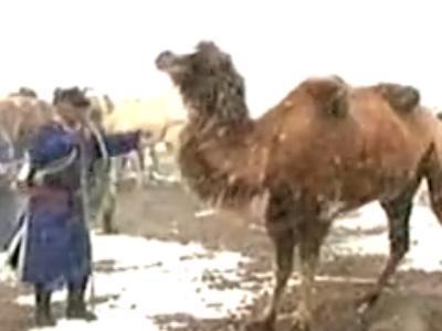 《行者》20140423:冰天雪地如何驯服骆驼 收集