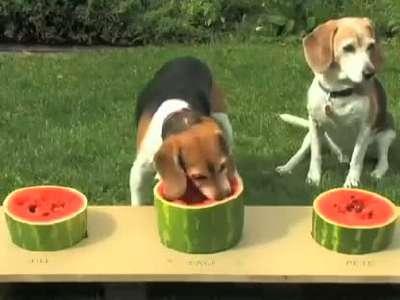狗狗吃西瓜大赛