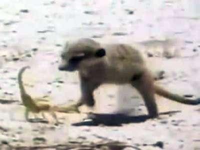 猫鼬猎杀致命的眼镜王蛇和蝎子