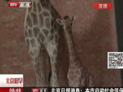 动物园视频监控拍摄到小长颈鹿出生