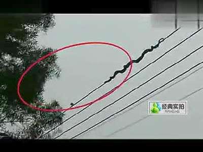 实拍:巨蛇攀数十米高电线捕食小鸟