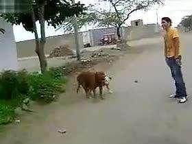 动物世界搞笑吐槽性行为之狗繁殖交配实录[太搞笑www