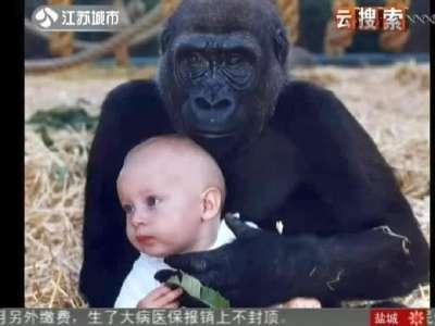 感人一幕:猩猩与女孩12年后重逢