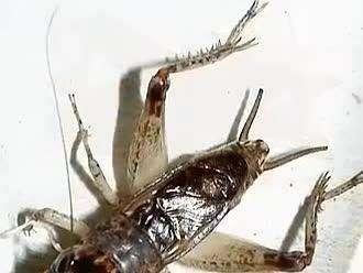 蟋蟀将军图谱电子版_蟋蟀将军图谱 _排行榜大全